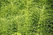 Invasive Weed Background — Stock Photo