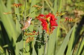 Hummingbird and Crocosmia Flower — Stock Photo