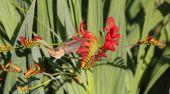 Hummingbird Extracts Nectar — Stock Photo