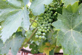 Grapes From the Fraser Valley — Stock Photo