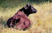 Красная корова Ангус — Стоковое фото