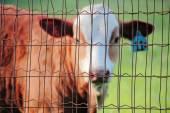 Caged Farm Animal — Stock Photo