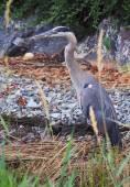 Kobiece Great Blue Heron — Zdjęcie stockowe
