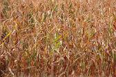 Drought Stricken Corn — Stock Photo