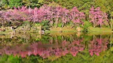Sakura trees reflection in lake — Stock Video