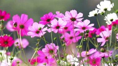 Pole růžové květy — Stock video
