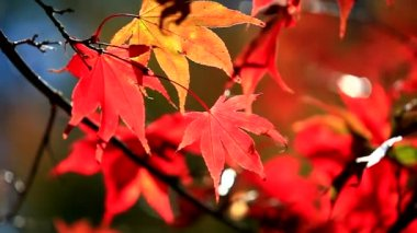 Autumn red maple leaves — Stock Video