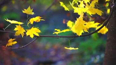 Autumn yellow maple leaves — Stock Video