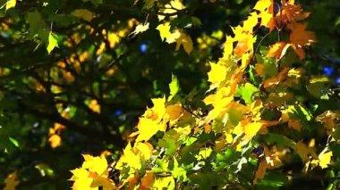 Ginkgo tree branch — Stock Video