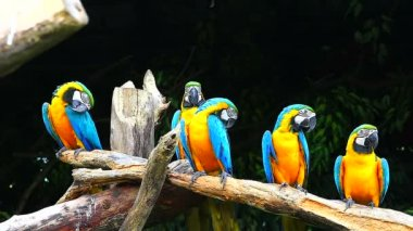 Blue-and-yellow Macaws — Stock Video
