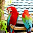 Two macaws perched on branch — Stock Video #69097119