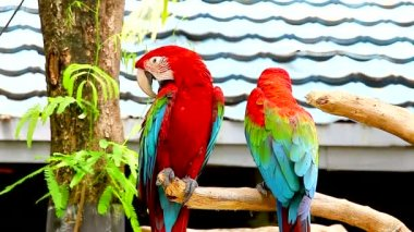 Two macaws perched on branch — Stock Video