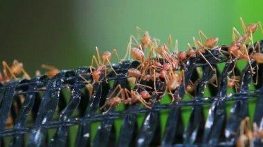 Red weaver ants — Stock Video