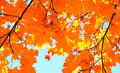Autumn maple leaves and  blue sky background — Foto Stock