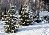 Winter landscape spruce trees in the park  — Stock Photo