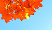 Autumn maple leaves and  blue sky — Stock Photo