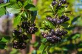 Chokeberry branch — Stock Photo