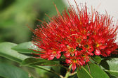 Bright red tropical flower in bloom, Koh Samui — Stock Photo