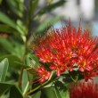 Bright red tropical flower in bloom, Koh Samui — Stock Photo #73910197