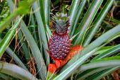 Ordinary pineapple growing like grass — Stock Photo