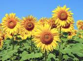 Lots of sunflowers on a background of blue sky — Stock Photo