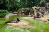 Seals in zoo — Stock Photo