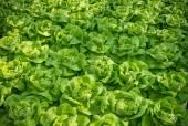 Closeup of lettuces — Stock Photo
