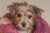 Puppy Getting Dry After His Bath — Stock Photo