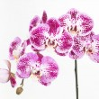 Purple and white Moth orchids close up — Stock Photo #72871359