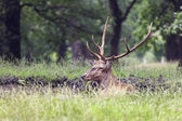 Image of stag lying in the grass near a puddle — Stock Photo