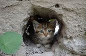 Wee  gray tabby kitten hiding in the hole walls — Stock Photo