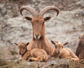 Barbary sheep with lambs — Stock Photo