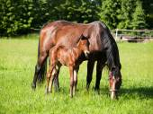 Mother and baby horse on meadow — Stock Photo