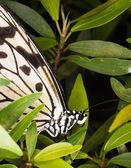 Wood nymph butterfly - Idea leuconoe — Stock Photo