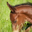 Portrait of newborn foal — Stock Photo #60281965