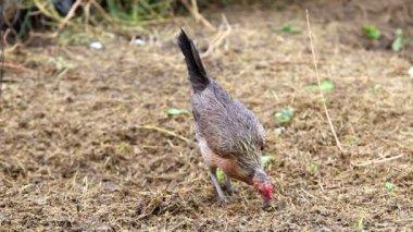Chicken Scratching the ground — Stock Video