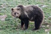 Bear in the wild — Stock Photo