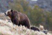 Medvěd v přírodě — Stock fotografie