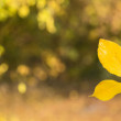 Two yellow leaves joined together creating — Stock Photo #55148179