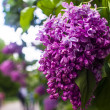 Purple lilac flowers bush — Stock Photo #64953279