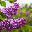 Purple lilac flowers bush — Stock Photo #64953327