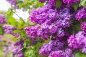 Purple lilac flowers bush — Stok fotoğraf