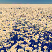Daisy Flower Fields — Stock Photo