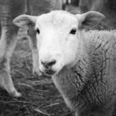 Lamb Black and White — Stock Photo