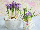 紫色的番红花花 — 图库照片