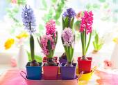 Multicolored hyacinths in pots — Stock Photo