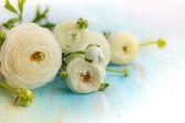 White ranunculus. soft focus — Stock Photo
