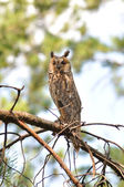 Long-eared owl. Ukraine — Stock Photo