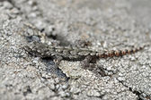 Crimean gecko. mimicry — Stock Photo