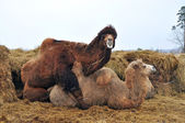 Courtship games Bactrian camels — Stock Photo